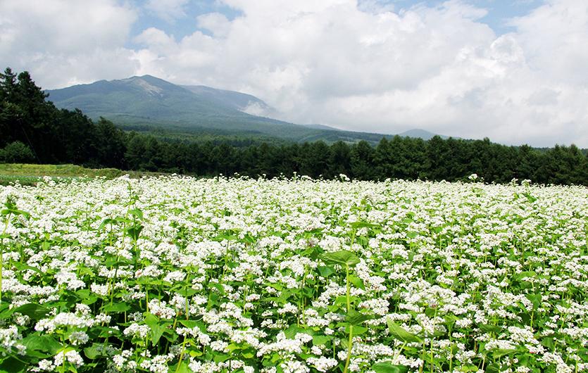 浅間山麓そば畑